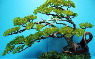 Чудо-дерево бонсай: особенности, виды, куда лучше поставить