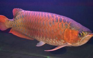 Узнай, как стать богатым — рыбка арована в природе и дома, мощный талисман достатка в фен-шуе