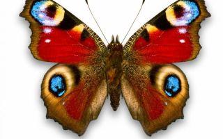 Тайна бабочки: символ семейного благополучия по фэншуй, куда вешать, виды