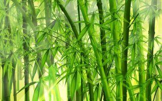 Сакральная сила волшебного бамбука по фэншуй: можно ли держать растение в домашних условиях