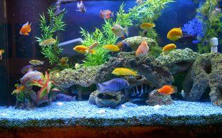 Золотые рыбки в аквариуме по фен-шую — к достатку, как выбрать, где поставить на кухне, в спальне