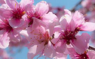 Польза цветка персика в Ба-Цзы: решение любовных проблем по фен-шуй, правила активации