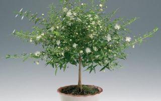 Чудотворное действие миртового дерева — описание по фен-шуй, важные правила размещения