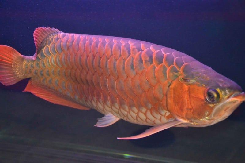 рыбка арована в фэншуй